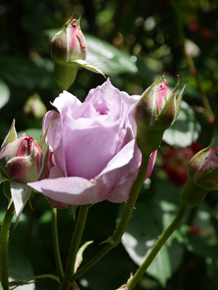 ノヴァーリス(Novalis)の花が少し咲いた。木立バラ。2021年-015.jpg