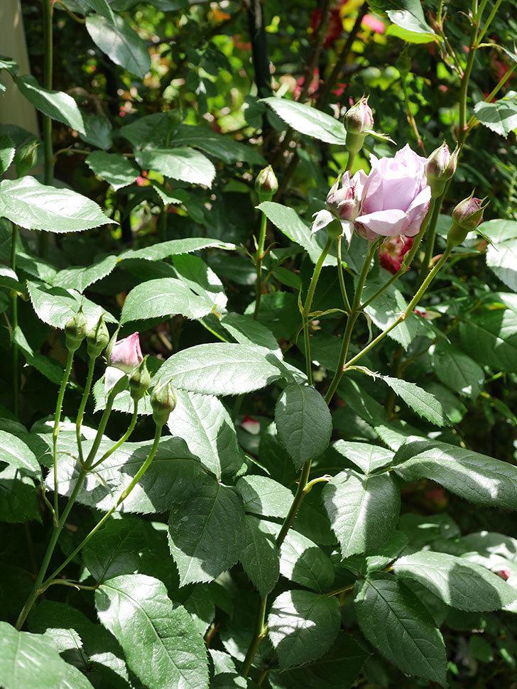 ノヴァーリス(Novalis)の花が少し咲いた。木立バラ。2021年-019.jpg