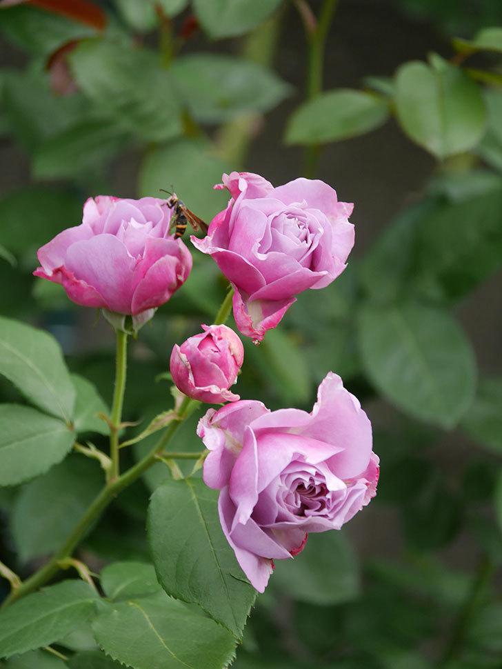 ノヴァーリス(Novalis)の花が房で咲いた。木立バラ。2020年-001.jpg