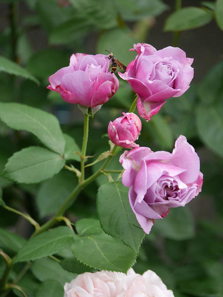 ノヴァーリス(Novalis)の花が房で咲いた。木立バラ。2020年-002.jpg