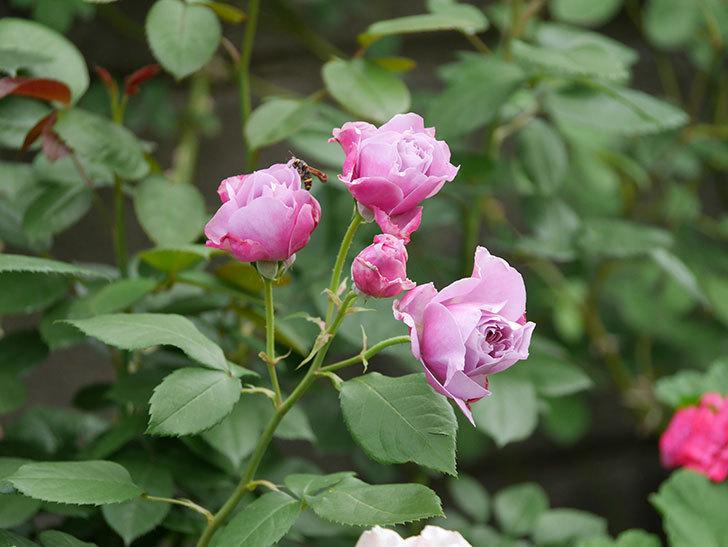 ノヴァーリス(Novalis)の花が房で咲いた。木立バラ。2020年-003.jpg