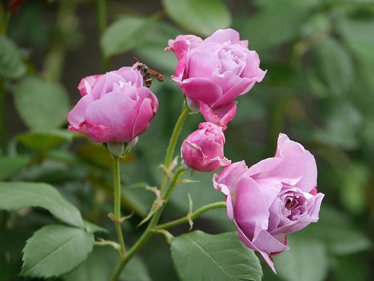 ノヴァーリス(Novalis)の花が房で咲いた。木立バラ。2020年-004.jpg