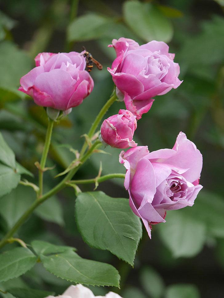 ノヴァーリス(Novalis)の花が房で咲いた。木立バラ。2020年-005.jpg