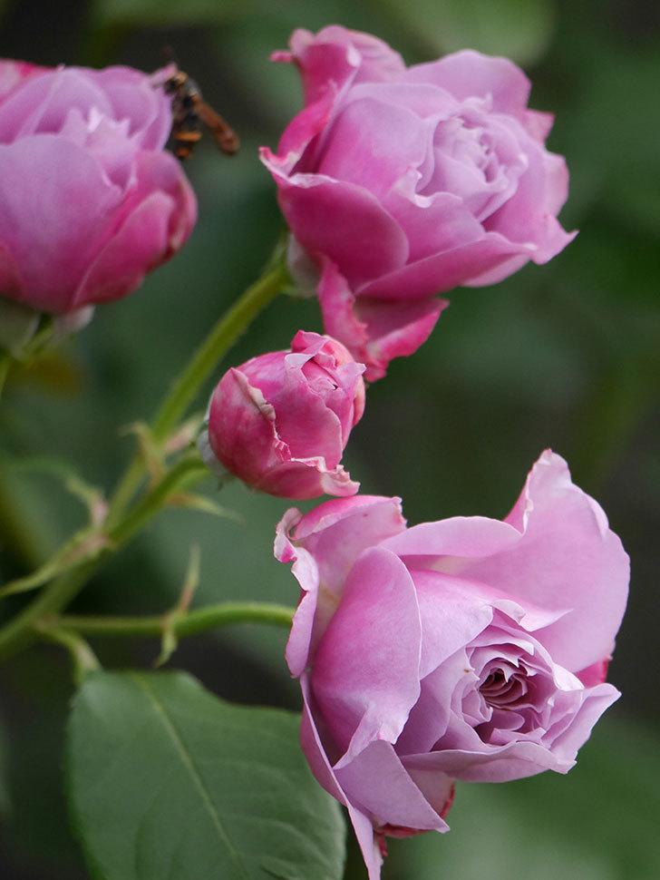 ノヴァーリス(Novalis)の花が房で咲いた。木立バラ。2020年-006.jpg