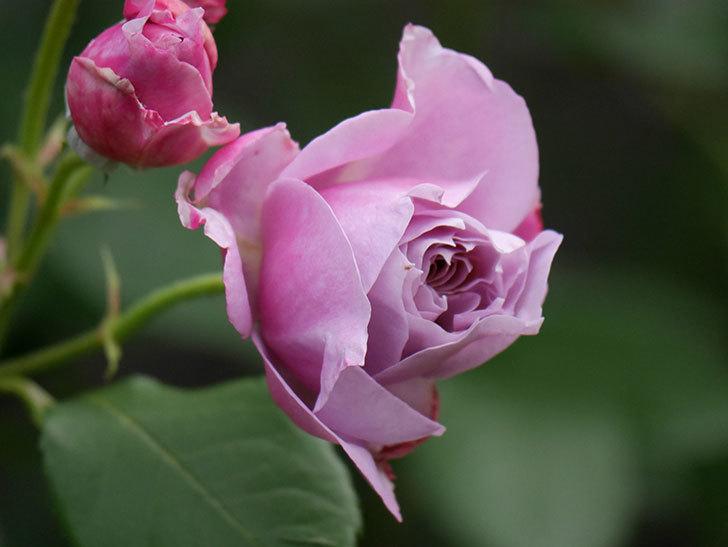 ノヴァーリス(Novalis)の花が房で咲いた。木立バラ。2020年-007.jpg