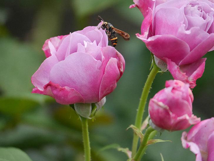 ノヴァーリス(Novalis)の花が房で咲いた。木立バラ。2020年-008.jpg