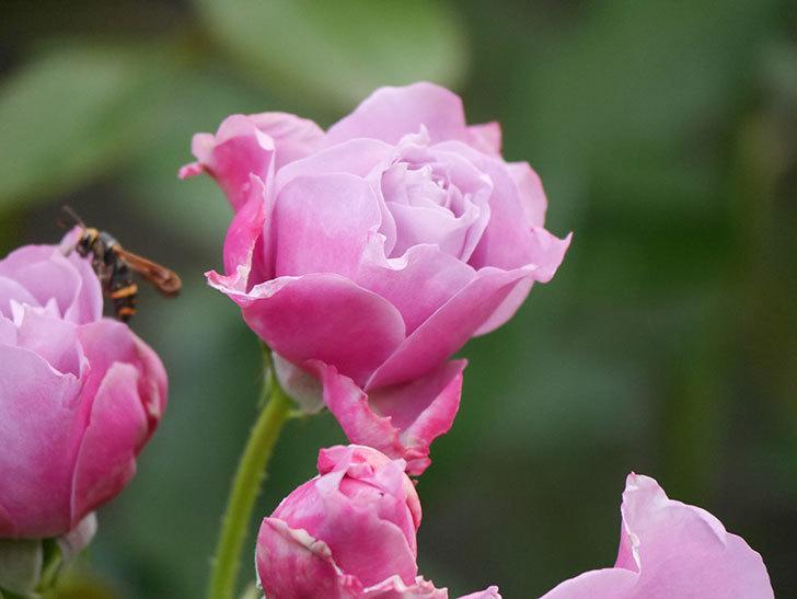 ノヴァーリス(Novalis)の花が房で咲いた。木立バラ。2020年-009.jpg