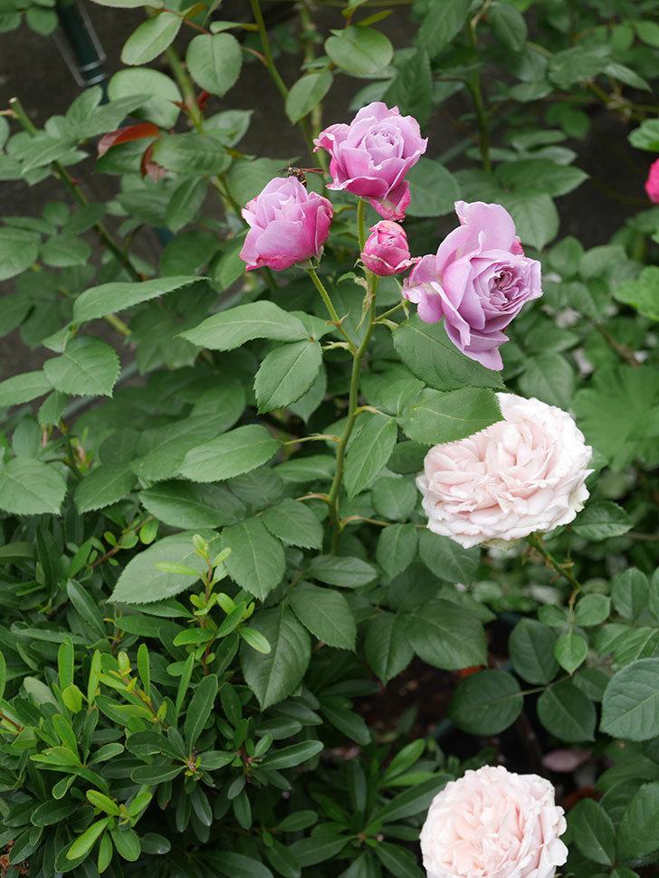 ノヴァーリス(Novalis)の花が房で咲いた。木立バラ。2020年-011.jpg