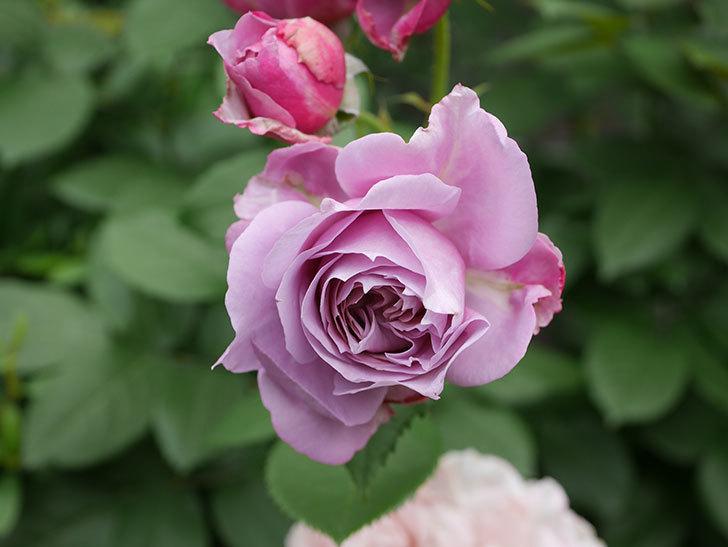 ノヴァーリス(Novalis)の花が房で咲いた。木立バラ。2020年-012.jpg