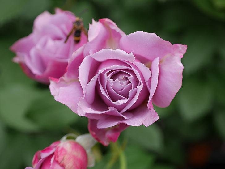 ノヴァーリス(Novalis)の花が房で咲いた。木立バラ。2020年-013.jpg