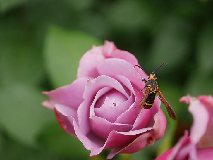 ノヴァーリス(Novalis)の花が房で咲いた。木立バラ。2020年-014.jpg