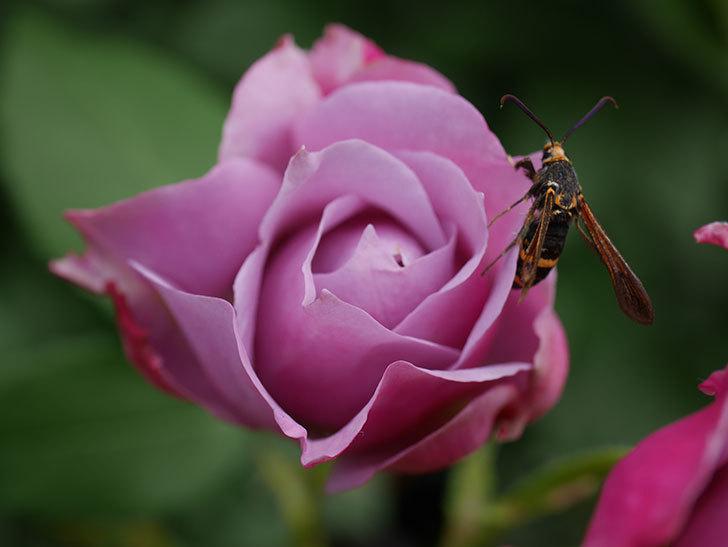ノヴァーリス(Novalis)の花が房で咲いた。木立バラ。2020年-015.jpg
