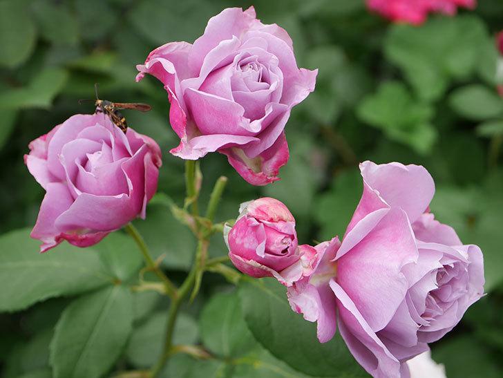ノヴァーリス(Novalis)の花が房で咲いた。木立バラ。2020年-017.jpg