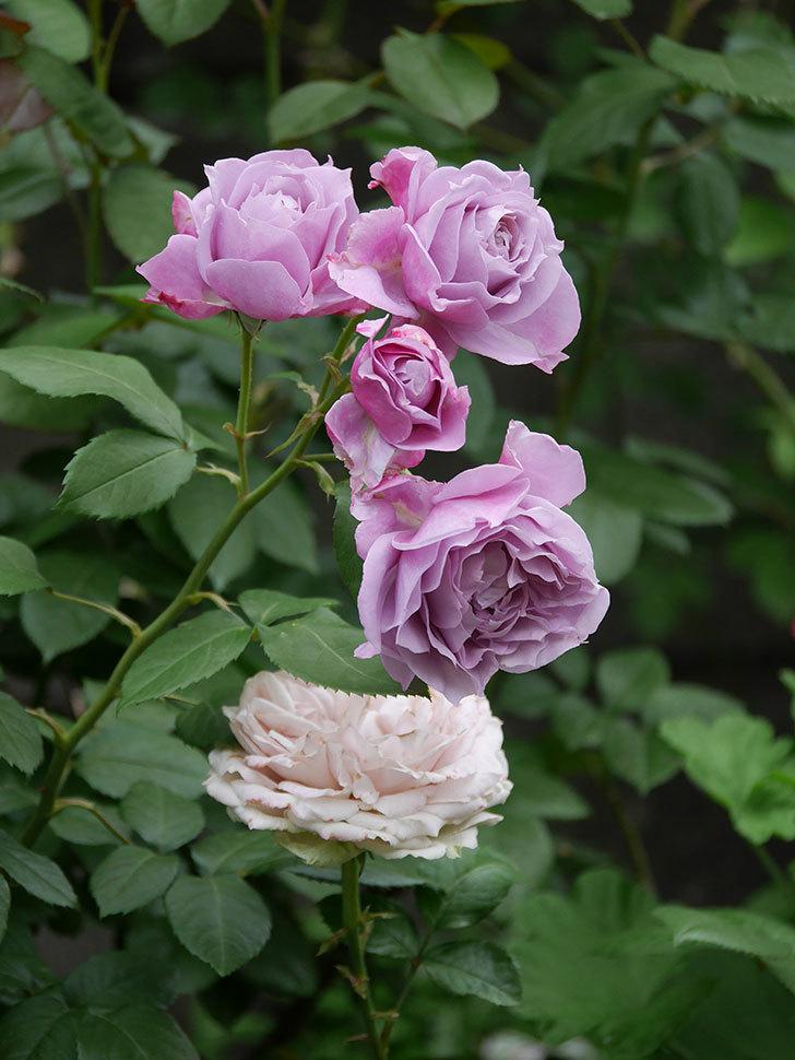 ノヴァーリス(Novalis)の花が房で咲いた。木立バラ。2020年-019.jpg