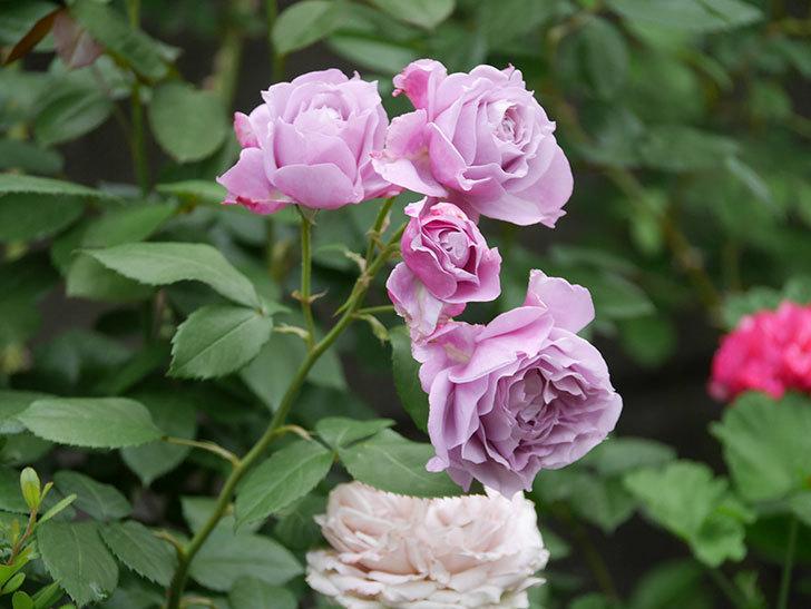 ノヴァーリス(Novalis)の花が房で咲いた。木立バラ。2020年-020.jpg