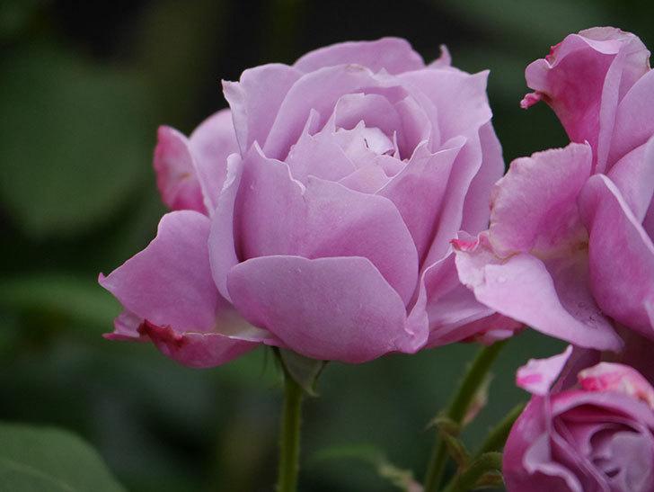 ノヴァーリス(Novalis)の花が房で咲いた。木立バラ。2020年-021.jpg