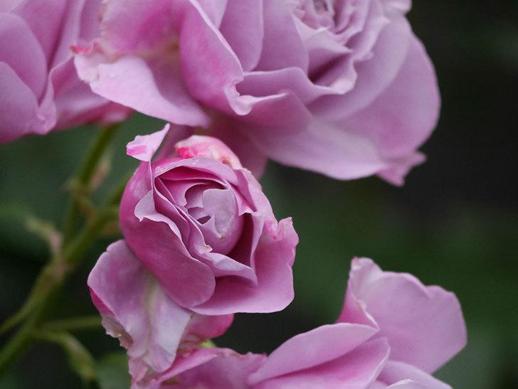ノヴァーリス(Novalis)の花が房で咲いた。木立バラ。2020年-022.jpg