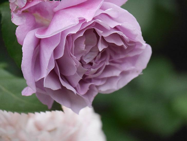 ノヴァーリス(Novalis)の花が房で咲いた。木立バラ。2020年-023.jpg
