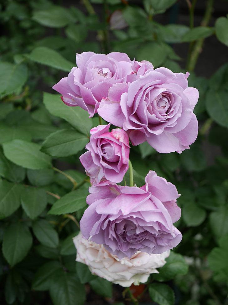 ノヴァーリス(Novalis)の花が房で咲いた。木立バラ。2020年-024.jpg