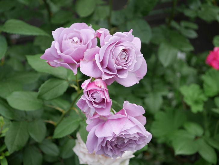 ノヴァーリス(Novalis)の花が房で咲いた。木立バラ。2020年-025.jpg