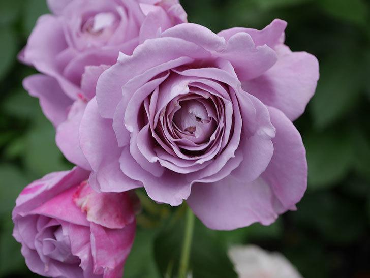 ノヴァーリス(Novalis)の花が房で咲いた。木立バラ。2020年-026.jpg