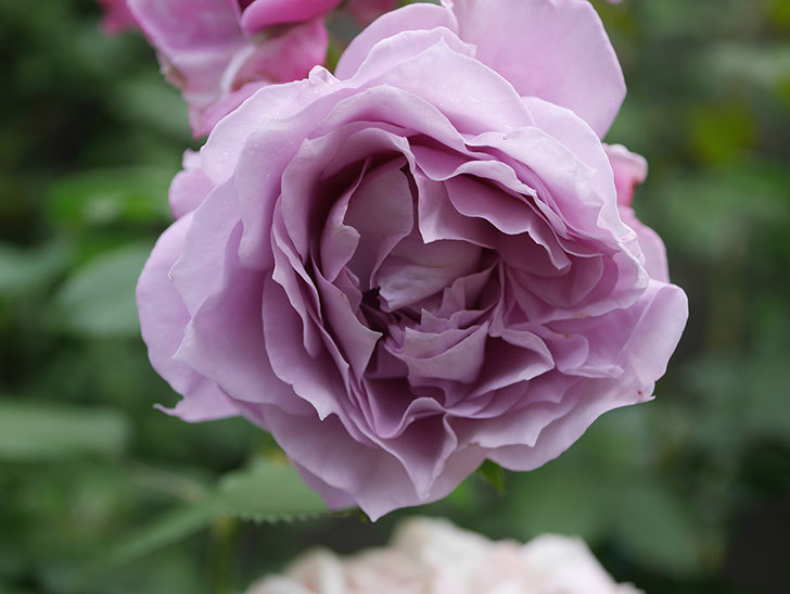 ノヴァーリス(Novalis)の花が房で咲いた。木立バラ。2020年-027.jpg