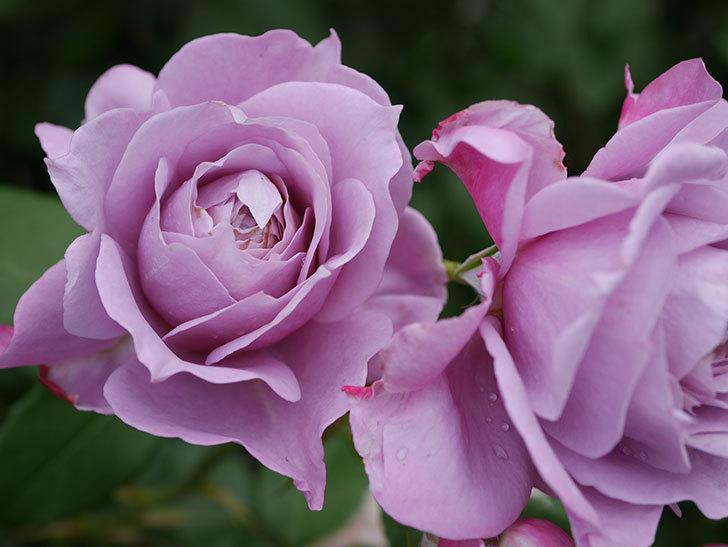ノヴァーリス(Novalis)の花が房で咲いた。木立バラ。2020年-029.jpg