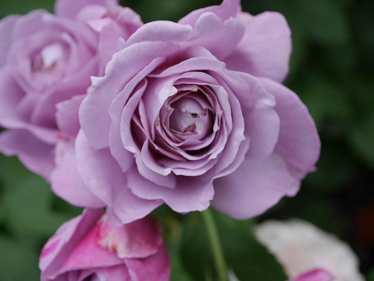 ノヴァーリス(Novalis)の花が房で咲いた。木立バラ。2020年-030.jpg