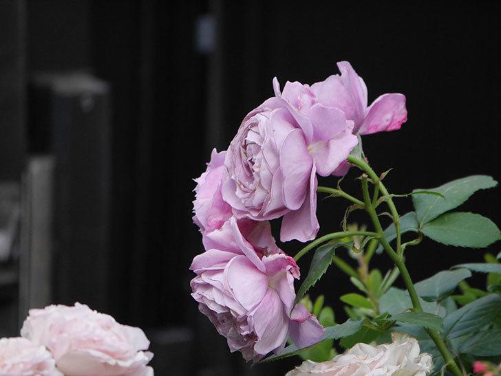 ノヴァーリス(Novalis)の花が房で咲いた。木立バラ。2020年-031.jpg