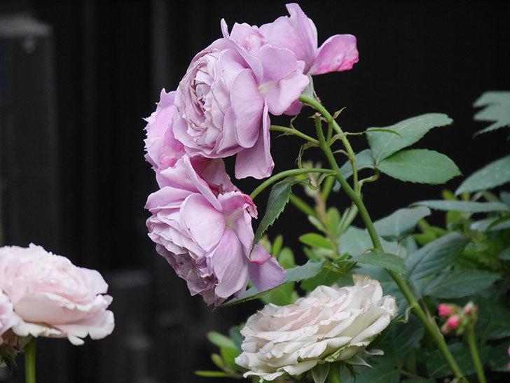 ノヴァーリス(Novalis)の花が房で咲いた。木立バラ。2020年-032.jpg