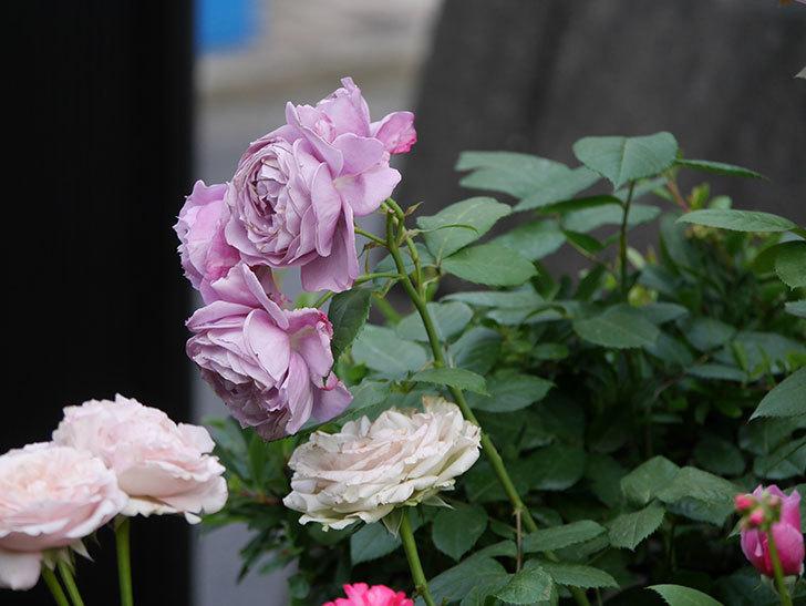 ノヴァーリス(Novalis)の花が房で咲いた。木立バラ。2020年-033.jpg