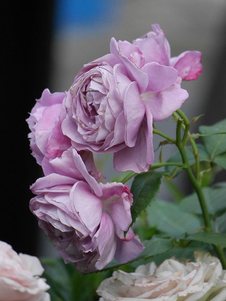 ノヴァーリス(Novalis)の花が房で咲いた。木立バラ。2020年-034.jpg