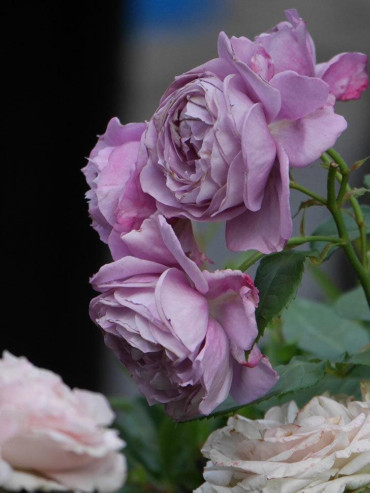 ノヴァーリス(Novalis)の花が房で咲いた。木立バラ。2020年-035.jpg