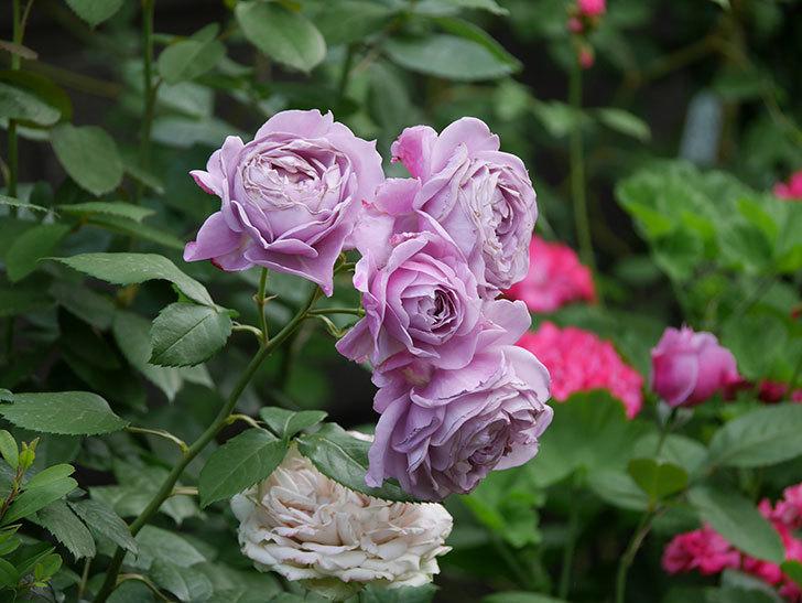 ノヴァーリス(Novalis)の花が房で咲いた。木立バラ。2020年-036.jpg