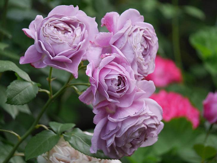 ノヴァーリス(Novalis)の花が房で咲いた。木立バラ。2020年-037.jpg
