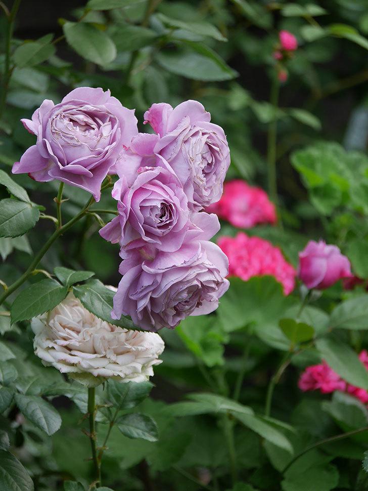 ノヴァーリス(Novalis)の花が房で咲いた。木立バラ。2020年-038.jpg