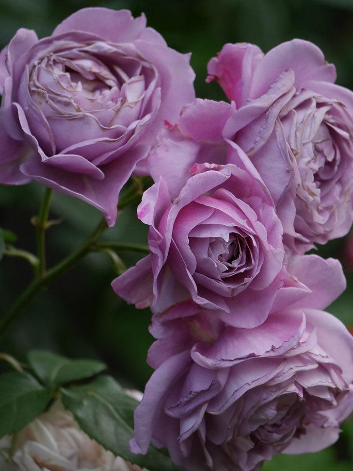 ノヴァーリス(Novalis)の花が房で咲いた。木立バラ。2020年-039.jpg
