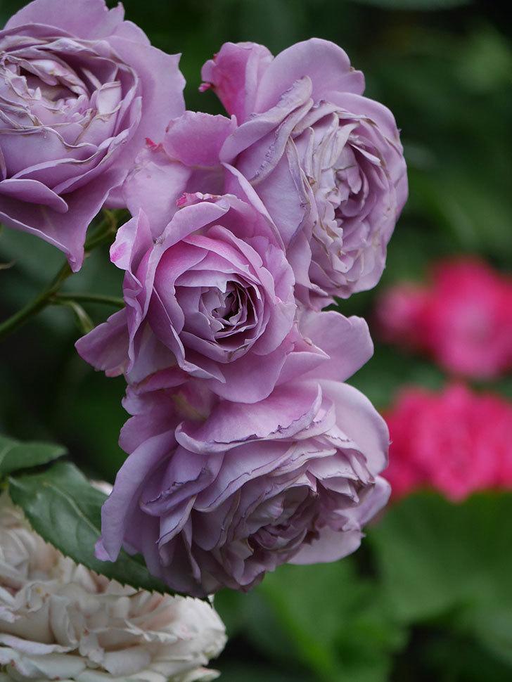 ノヴァーリス(Novalis)の花が房で咲いた。木立バラ。2020年-040.jpg