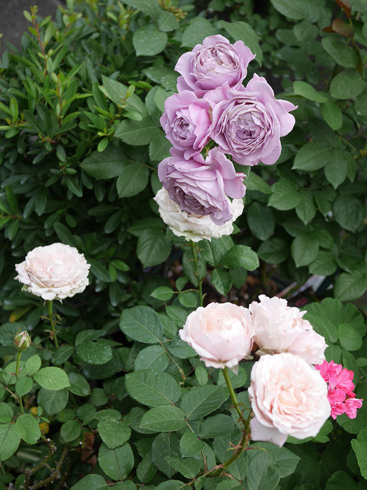 ノヴァーリス(Novalis)の花が房で咲いた。木立バラ。2020年-041.jpg