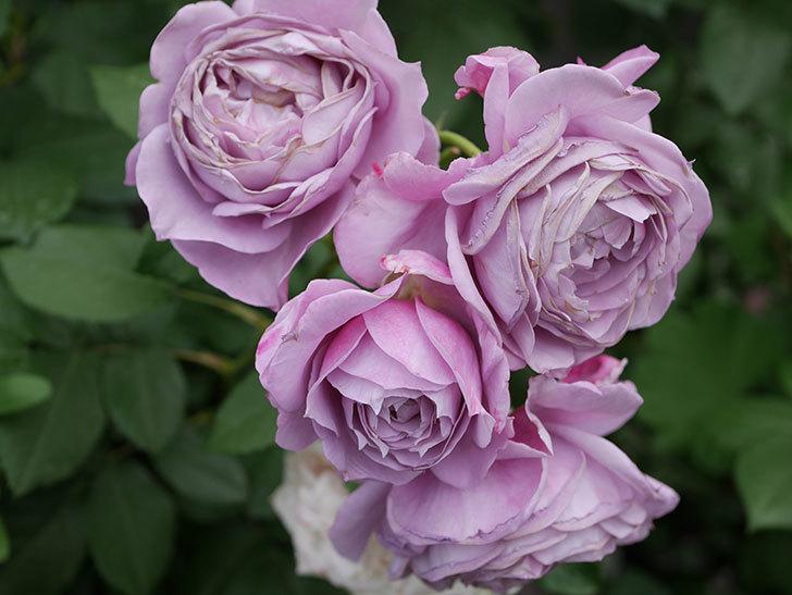 ノヴァーリス(Novalis)の花が房で咲いた。木立バラ。2020年-042.jpg