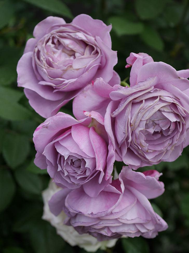 ノヴァーリス(Novalis)の花が房で咲いた。木立バラ。2020年-043.jpg