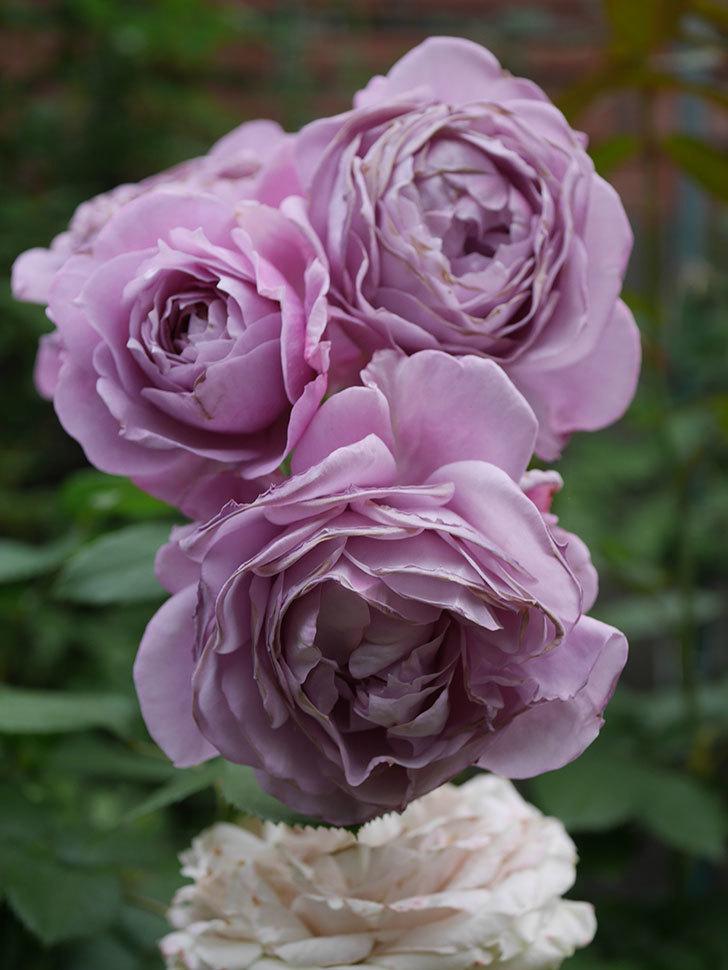ノヴァーリス(Novalis)の花が房で咲いた。木立バラ。2020年-044.jpg