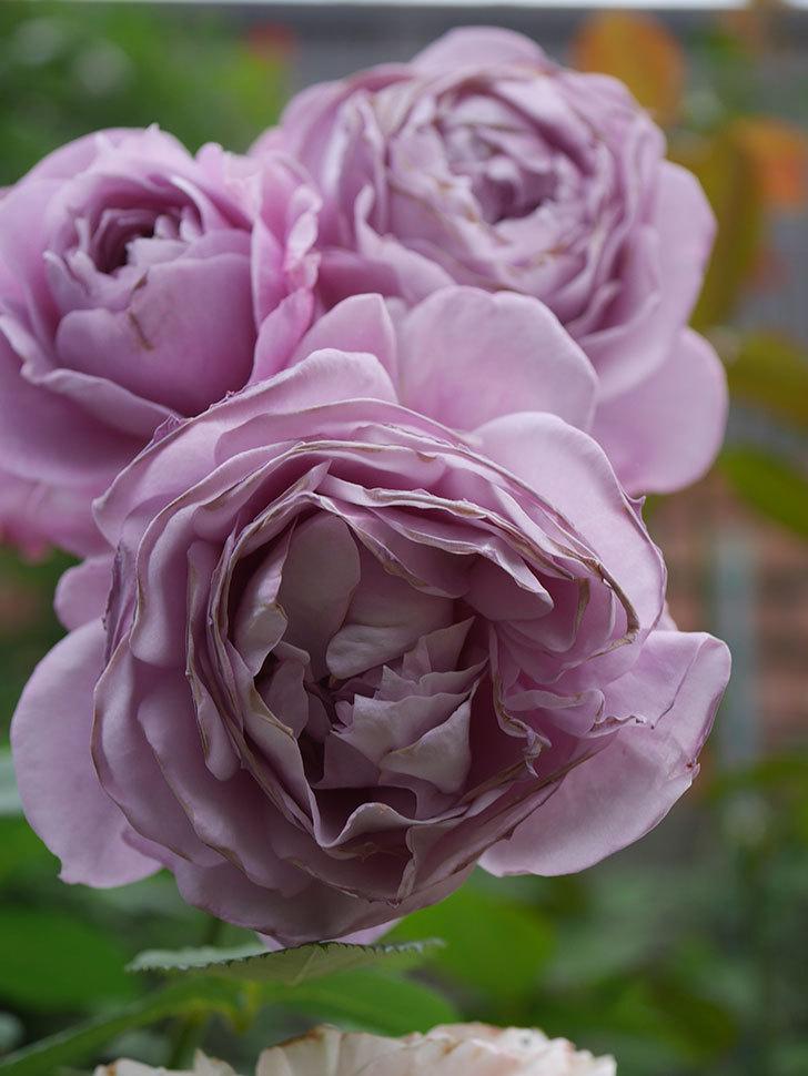 ノヴァーリス(Novalis)の花が房で咲いた。木立バラ。2020年-045.jpg
