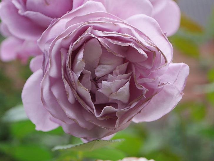 ノヴァーリス(Novalis)の花が房で咲いた。木立バラ。2020年-046.jpg