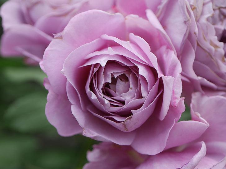 ノヴァーリス(Novalis)の花が房で咲いた。木立バラ。2020年-047.jpg