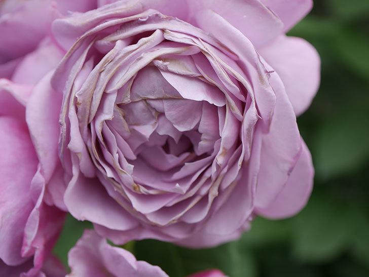 ノヴァーリス(Novalis)の花が房で咲いた。木立バラ。2020年-048.jpg