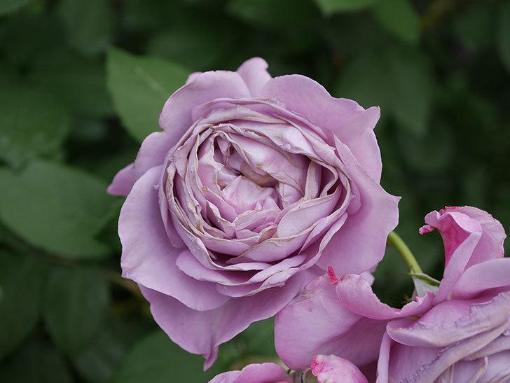ノヴァーリス(Novalis)の花が房で咲いた。木立バラ。2020年-049.jpg
