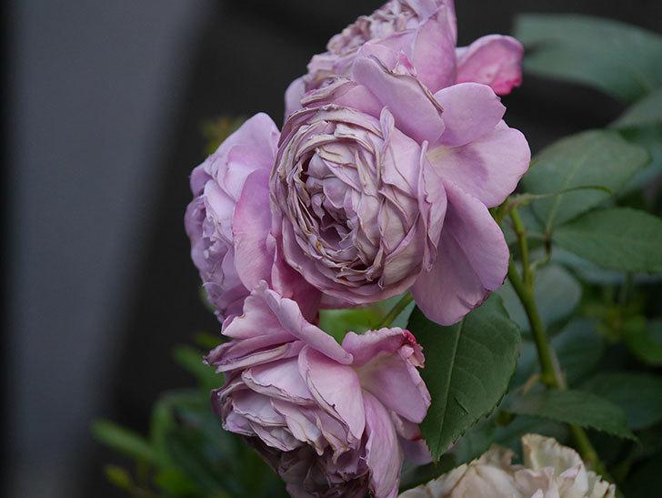 ノヴァーリス(Novalis)の花が房で咲いた。木立バラ。2020年-050.jpg
