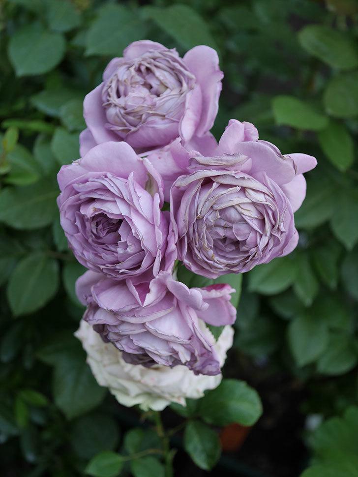 ノヴァーリス(Novalis)の花が房で咲いた。木立バラ。2020年-051.jpg