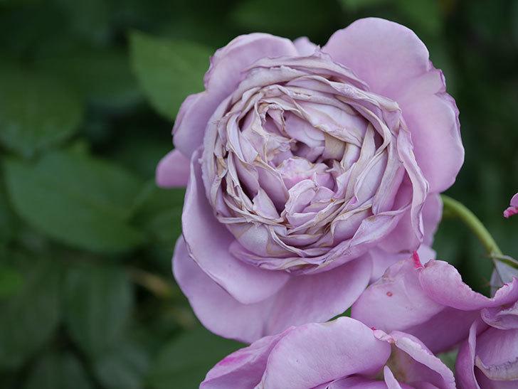 ノヴァーリス(Novalis)の花が房で咲いた。木立バラ。2020年-052.jpg